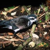 White-faced storm petrel. Adult standing. Rangatira Island, Chatham Islands, January 2000. Image © Department of Conservation (image ref: 10054736) by Don Merton, Department of Conservation Courtesy of Department of Conservation