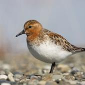 Red-necked stint. Adult in breeding plumage at breeding grounds. Bering Sea coast, southern Chukotka, June 2008. Image © Sergey Golubev by Sergey Golubev