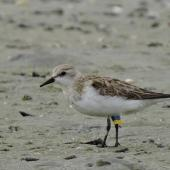 Red-necked stint. Adult with Chinese leg flags. Waipu estuary, Northland, October 2016. Image © Susan Steedman by Susan Steedman