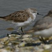 Red-necked stint. Adult with Wrybill. Kidds Beach. Image © Noel Knight by Noel Knight