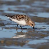 Red-necked stint. Adult in breeding plumage foraging on mudflat. Porangahau estuary, Hawke's Bay, March 2016. Image © Adam Clarke by Adam Clarke