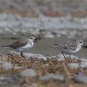Red-necked stint. Small flock non-breeding adults. Lake Ellesmere, February 2014. Image © Steve Attwood by Steve Attwood   http://www.flickr.com/photos/stevex2/