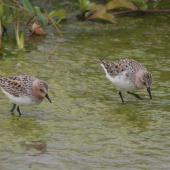 Red-necked stint. Adults in breeding plumage. Lanyu Island, Taiwan, April 2006. Image © Nigel Voaden by Nigel Voaden http://www.flickr.com/photos/nvoaden/