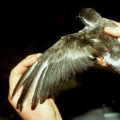 Kermadec storm petrel. Adult in the hand. Macauley Island, December 1988. Image © Graeme Taylor by Graeme Taylor