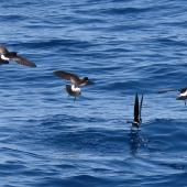 New Zealand storm petrel. Four adults feeding. Tutukaka Pelagic out past Poor Knights Islands, January 2020. Image © Scott Brooks (ourspot) by Scott Brooks