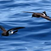 New Zealand storm petrel. Two adults in flight. Tutukaka Pelagic out past Poor Knights Islands, January 2020. Image © Scott Brooks (ourspot) by Scott Brooks