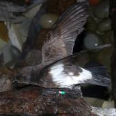New Zealand storm petrel. Adult on land. Little Barrier Island, February 2014. Image © Alan Tennyson  by Alan Tennyson
