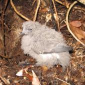 New Zealand storm petrel. Chick. Little Barrier Island, June 2013. Image © Alan Tennyson by Alan Tennyson