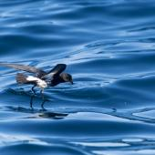 New Zealand storm petrel. Adult pattering on surface. Hauraki Gulf, September 2017. Image © Edin Whitehead by Edin Whitehead Edin Whitehead www.edinz.com