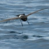 New Zealand storm petrel. Front view in flight. Outer Hauraki Gulf, January 2012. Image © Philip Griffin by Philip Griffin
