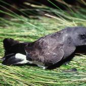 Black-bellied storm petrel. Adult. Reef Point, Antipodes Island, November 1995. Image © Alan Tennyson by Alan Tennyson