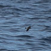 Black-bellied storm petrel. Dorsal. At sea, Off Wollongong, New South Wales, Australia, April 2012. Image © Brook Whylie by Brook Whylie http://www.sossa-international.org