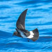 Black-bellied storm petrel. Adult. At sea off Port Stephens NSW, October 2010. Image © Dick Jenkin by Dick Jenkin   www.jenkinphotography.com.au