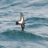 Black-bellied storm petrel. Ventral view of bird in flight. Scotia Sea, Away from South Georgia heading to Antarctica, December 2015. Image © Cyril Vathelet by Cyril Vathelet
