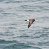 Black-bellied storm petrel. Side view of bird in flight. Scotia Sea, Away from South Georgia heading to Antarctica, December 2015. Image © Cyril Vathelet by Cyril Vathelet