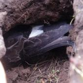 Black-bellied storm petrel. Adult incubating in shallow burrow. Enderby Island, Auckland Islands, January 2018. Image © Colin Miskelly by Colin Miskelly