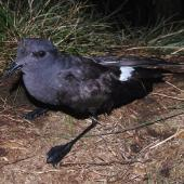 Black-bellied storm petrel. Adult. Disappointment Island, Auckland Islands, January 2018. Image © Colin Miskelly by Colin Miskelly