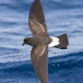 White-bellied storm petrel. Adult in flight. Lord Howe Island pelagic, April 2019. Image © David Newell 2019 birdlifephotography.org.au by David Newell