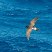 White-bellied storm petrel. Adult in flight. Lord Howe Island pelagic, February 2017. Image © Mark Lethlean 2017 birdlifephotography.org.au by Mark Lethlean