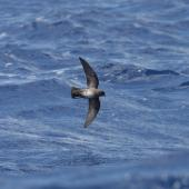 White-bellied storm petrel. Ventral view of adult dark morph in flight. Lord Howe Island, December 2009. Image © Matthew Rodgers by Matthew Rodgers
