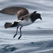 White-bellied storm petrel. Adult. Lord Howe Island pelagic, November 2010. Image © Nicole Andrews by Nicole Andrews