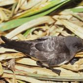 White-bellied storm petrel. Adult. Curtis Island, Kermadec Islands, October 1989. Image © Alan Tennyson by Alan Tennyson