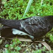 White-bellied storm petrel. Side view of adult on ground. Macauley Island, Kermadec Islands, September 1988. Image © Alan Tennyson by Alan Tennyson
