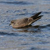 Leach's storm petrel. Adult swimming. Chasewater, Staffordshire, United Kingdom, October 2010. Image © Andy Hartley by Andy Hartley via Flickr, All Rights Reserved