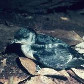 Common diving petrel. Adult southern diving petrel . Snares Islands, February 1983. Image © Colin Miskelly by Colin Miskelly