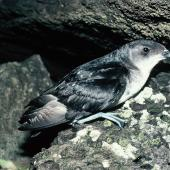 Common diving petrel. Adult northern diving petrel. Stack north of Stanley Island, Mercury Islands, July 1987. Image © Alan Tennyson by Alan Tennyson