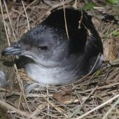 Common diving petrel. Adult male on nest. North Brother Island, Cook Strait, October 2019. Image © Colin Miskelly by Colin Miskelly