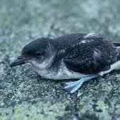 Common diving petrel. Adult southern diving petrel. Snares Islands. Image © Alan Tennyson by Alan Tennyson