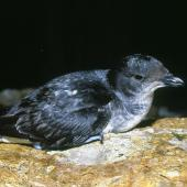 Common diving petrel. Adult. Poor Knights Islands, November 1978. Image © Albert Aanensen by Albert Aanensen