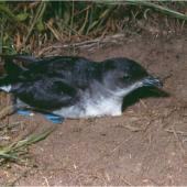 Common diving petrel. Adult northern diving petrel. Mana Island, October 2003. Image © Colin Miskelly by Colin Miskelly