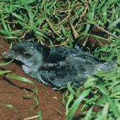 Common diving petrel. Adult southern diving petrel at burrow entrance. Rangatira Island, Chatham Islands, August 1968. Image © Department of Conservation (image ref: 10031602) by Don Merton, Department of Conservation Courtesy of Department of Conservation