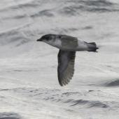 Common diving petrel. Southern diving petrel in flight, showing underwing. Off Snares Islands, April 2013. Image © Phil Battley by Phil Battley
