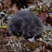 South Georgian diving petrel. Chick. Ile aux Cochons, Iles Kerguelen, January 2016. Image © Colin Miskelly by Colin Miskelly