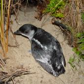 South Georgian diving petrel. Adult by burrow entrance showing pale markings. Whenua Hou / Codfish Island, November 2002. Image © Graeme Taylor by Graeme Taylor