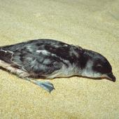 South Georgian diving petrel. Adult at breeding colony. Sealer's Bay, Codfish Island, November 1991. Image © Alan Tennyson by Alan Tennyson