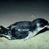 South Georgian diving petrel. Adult on sandy beach. Codfish Island, September 1978. Image © Department of Conservation (image ref: 10036935) by David Garrick Courtesy of Department of Conservation