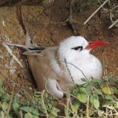 Red-tailed tropicbird. Adult on nest. Phillip Island, Norfolk Island, November 2016. Image © Ian Armitage by Ian Armitage
