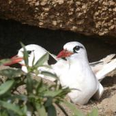 Red-tailed tropicbird. Pair at nest. Kermadec Islands, North Meyer Islet, May 2007. Image © Steffi Ismar by Steffi Ismar Courtesy of S. Ismar.