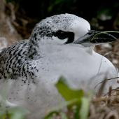 Red-tailed tropicbird. Fully-grown chick. Norfolk Island, April 2012. Image © Philip Griffin by Philip Griffin