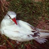 Red-tailed tropicbird. Adult at nest site. Macauley Island, Kermadec Islands, May 1982. Image © Colin Miskelly by Colin Miskelly
