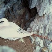 Red-tailed tropicbird. Adult on nest showing red tail plumes. South Meyer Island, Kermadec Islands. Image © Department of Conservation (image ref: 10031081) by Dick Veitch, Department of Conservation Courtesy of Department of Conservation