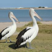 Australian pelican. Two adults on land. Kalbarri, WA, September 2013. Image © Roger Smith by Roger Smith
