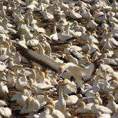 Cape gannet. Breeding colony. Lamberts Bay, South Africa, August 2010. Image © Glenn McKinlay by Glenn McKinlay