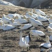 Cape gannet. Adults. Bird Island, Lamberts Bay, South Africa, June 2016. Image © Heather Smithers by Heather Smithers
