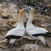 Australasian gannet. Adults greeting. Cape Kidnappers, October 2012. Image © Adam Clarke by Adam Clarke