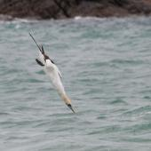 Australasian gannet. Diving adult. Otama, Coromandel Peninsula, January 2012. Image © Philip Griffin by Philip Griffin